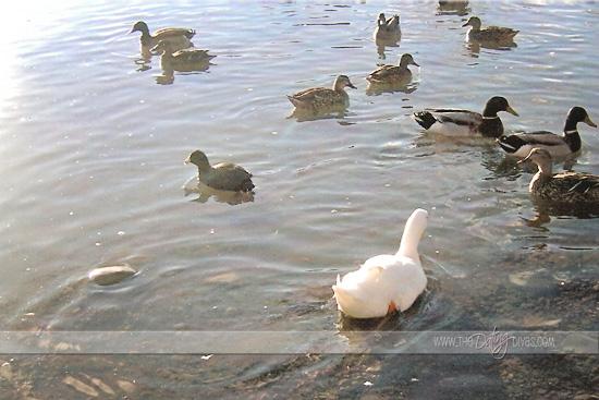 robin-fishing-ducks