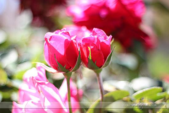 Julie-Dream-Date-Flowers_EditWeb
