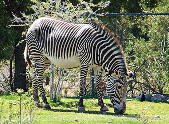 Julie-Zoo-Date-Zebra_Websize